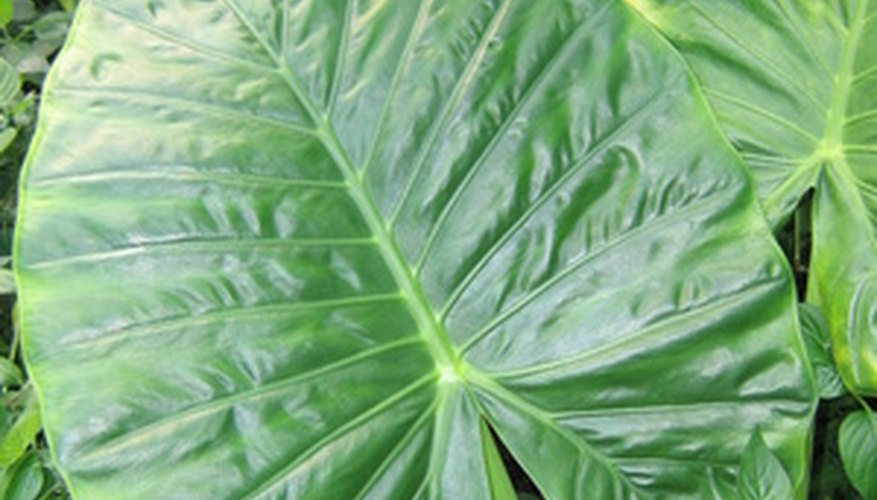 A large green elephant ear (Alocasia sp.) needs a colorful companion.