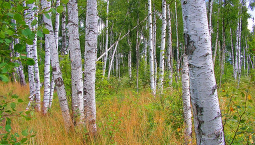 Paper bark birches contrast with the surrounding landscape.