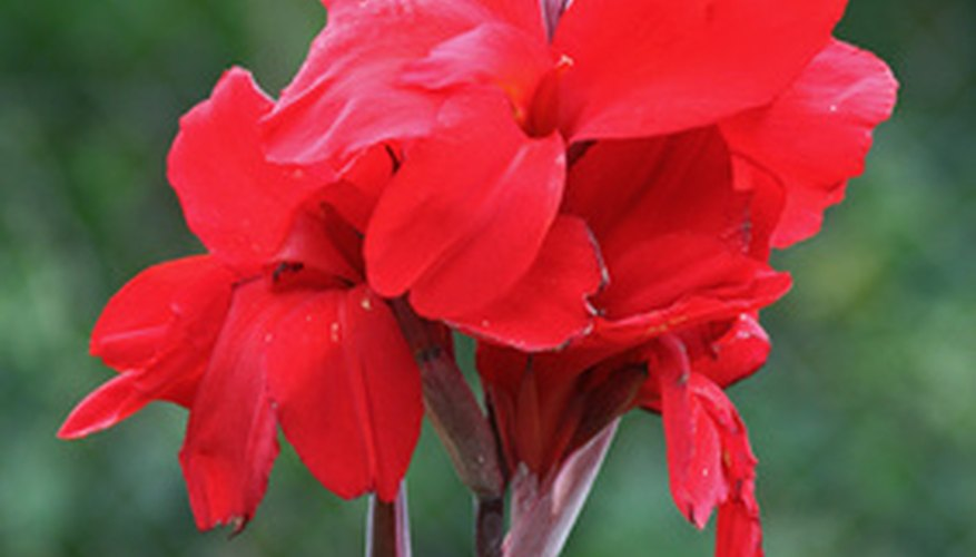 Cannas are fast-growing flowering plants.