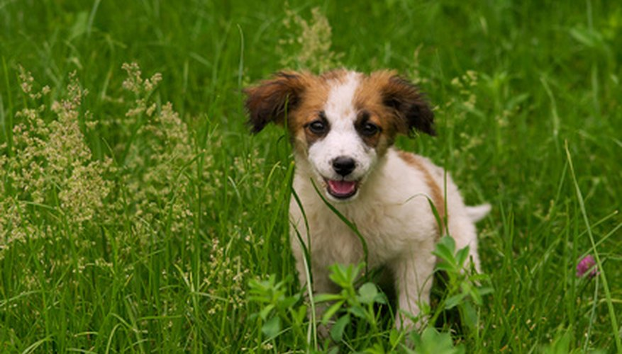 Grass seeds can cause problems for dogs