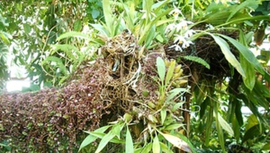 Epiphytic orchids grow on the bark of trees.
