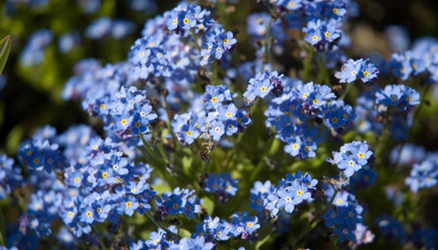 Blue Flowering Shrub Garden Guides