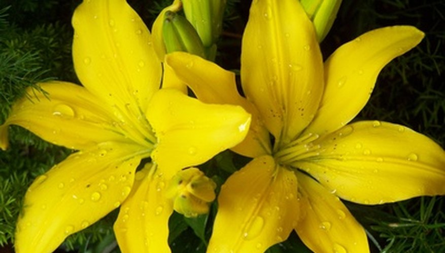 How To Transplant Yellow Easter Flowers Garden Guides