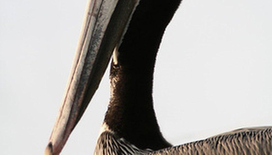 La ESA, o El Acta de Especies Amenazadas, lista al pelícano café como en peligro de extinción.