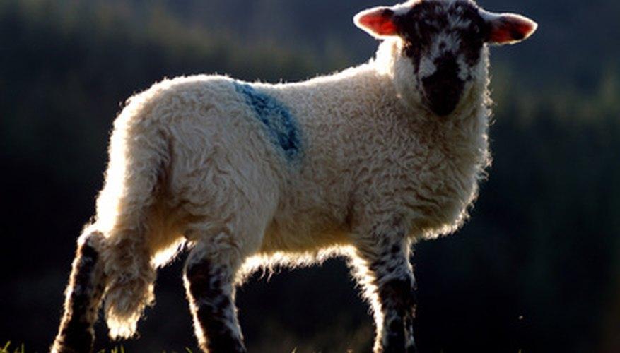 Una oveja que aún tiene cola.
