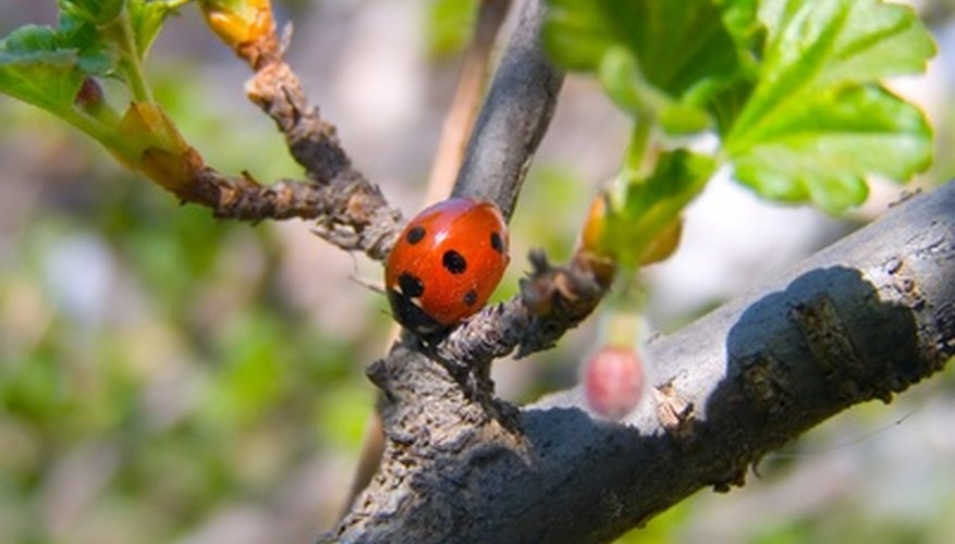 Aphids do not stand a chance against ladybugs and their young.