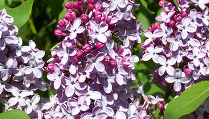 Large blooms are the reward of a well cared for lilac.