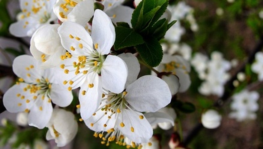 A variety of insects can affect Newport plum trees.