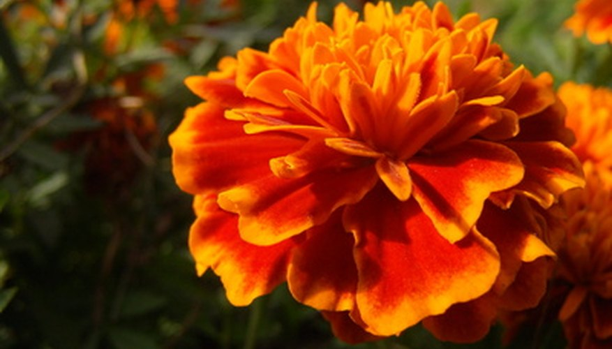 Orange marigold in a garden.