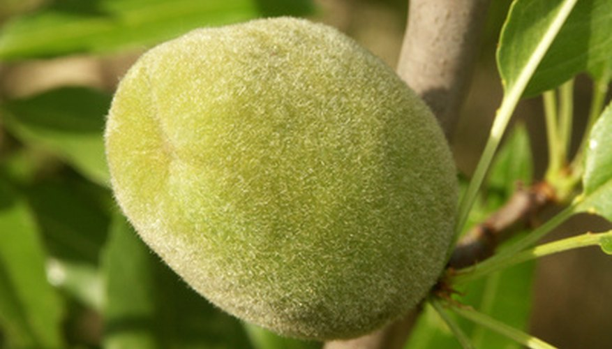 Almond tree drupe.