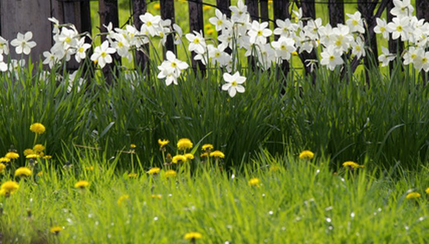 Paperwhite narcissus flowers are also called daffodils.