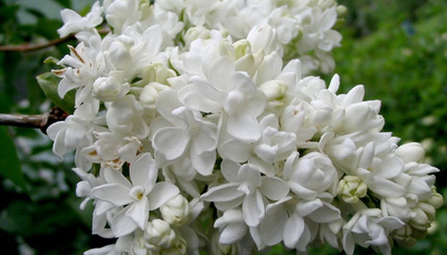 Japanese tree lilac forms clusters of tiny white blossoms.