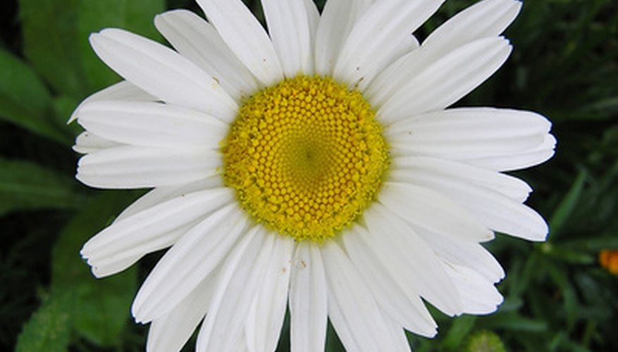 Shasta daisies are adaptable to spring, summer and fall..