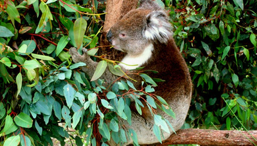 Koalas favor about 36 eucalytus tree varieties.