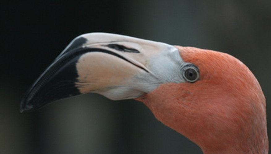 Flamingos have specialized beaks to feed in their shallow-water habitats.
