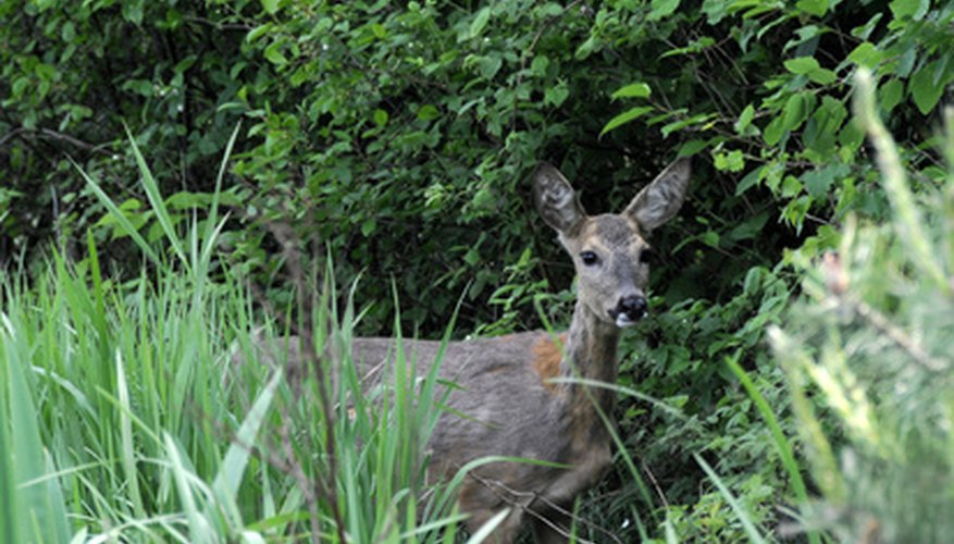 As habitat contracts, deer begin grazing in suburban backyards.