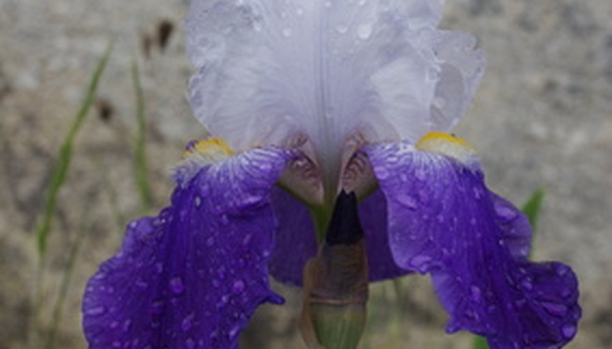 The flowers of the bearded iris look like orchids.