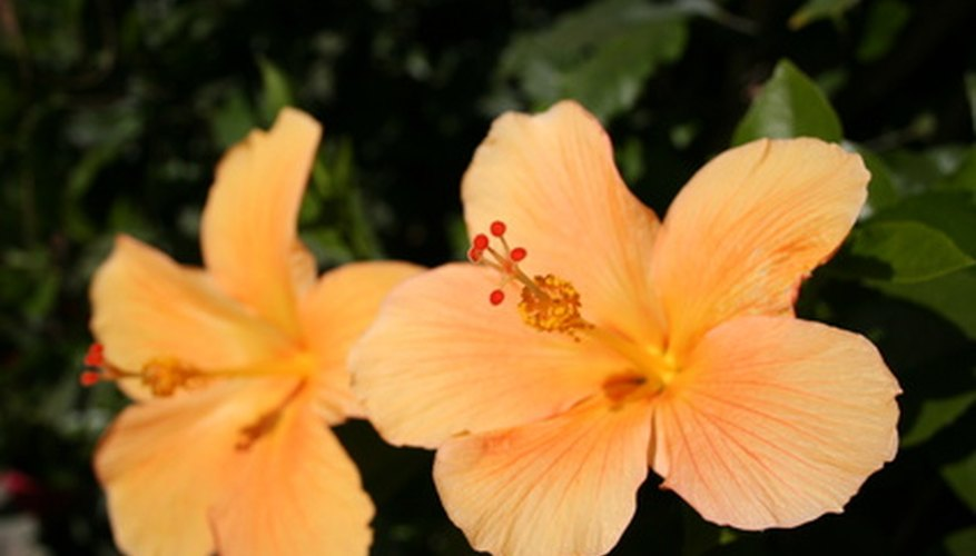 Hibiscus is the Hawaii state flower.