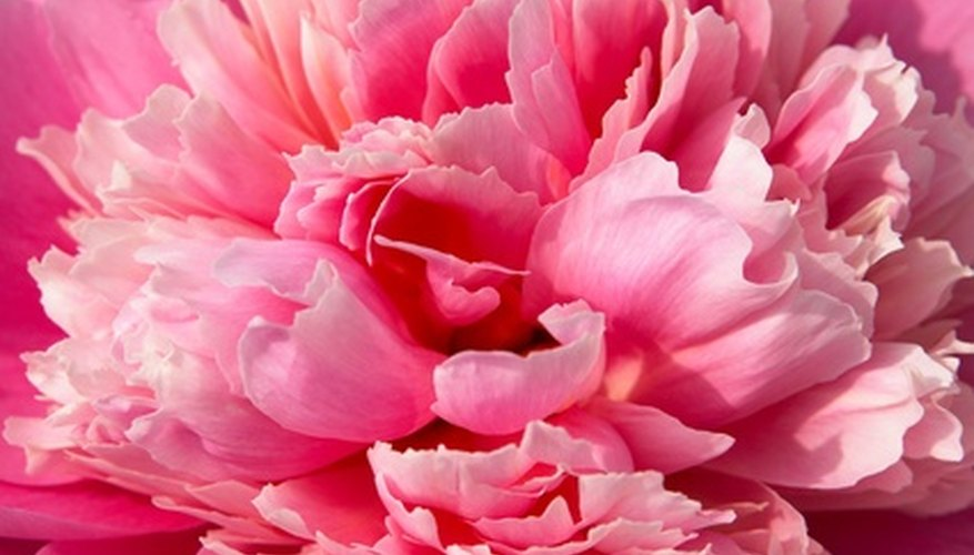 Coral-pink peonies stand out in the garden.