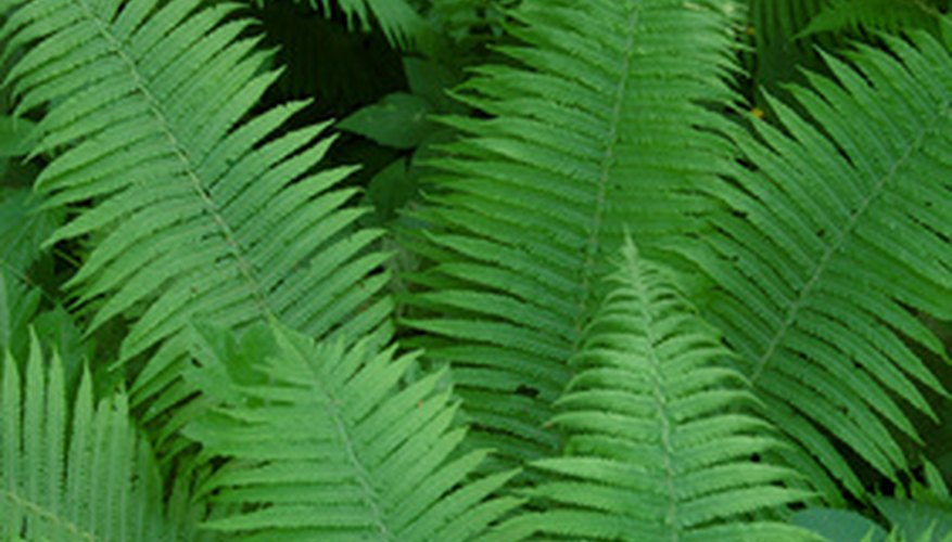 Many ferns are well adapted to thrive in the shade at the base of a tree.