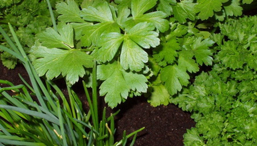 You can grow herbs such as parsley, chives and cilantro hydroponically.