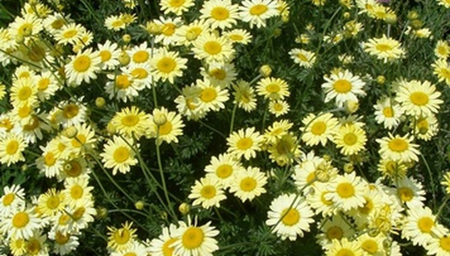 Bush daisies grow best in full sun.