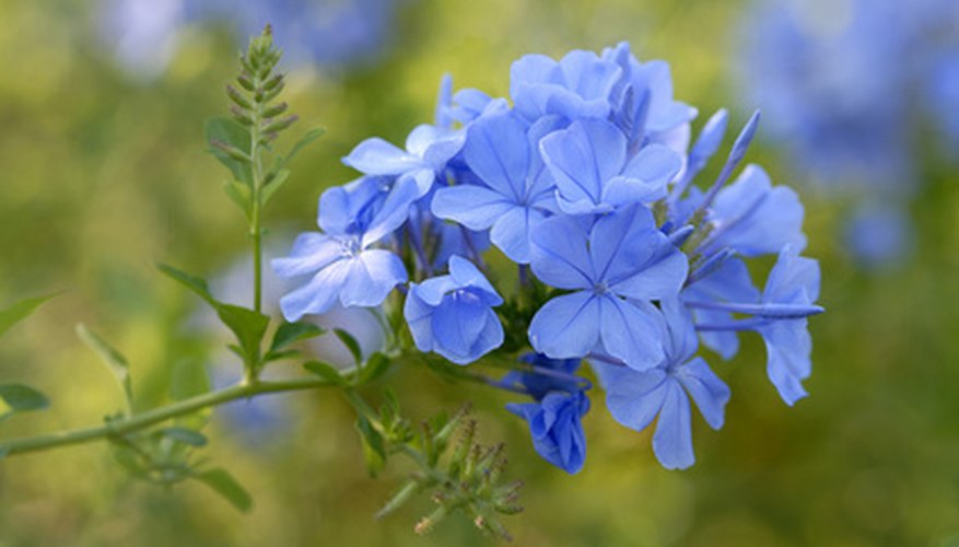 Cape plumbago displays distinctive blue flowers.