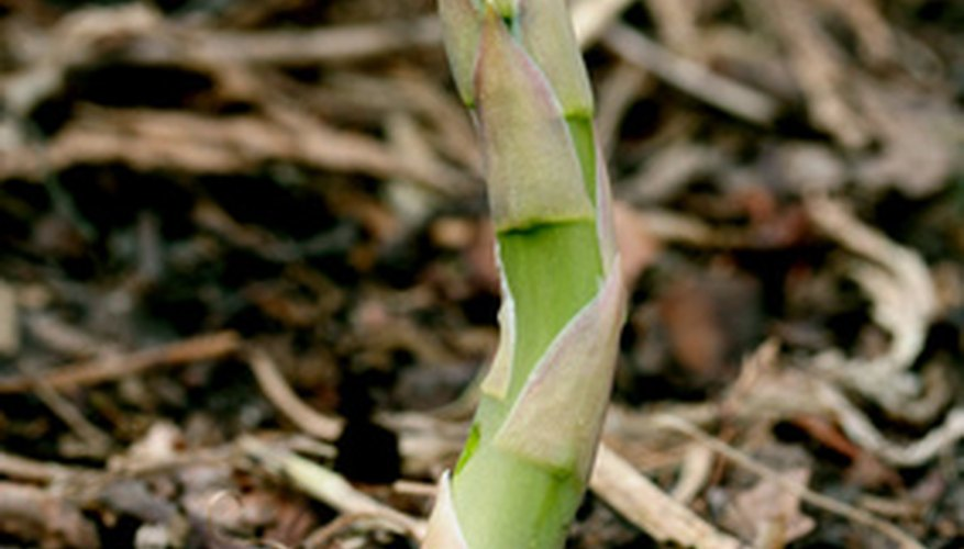 Asparagus produces tender young shoots in early spring.