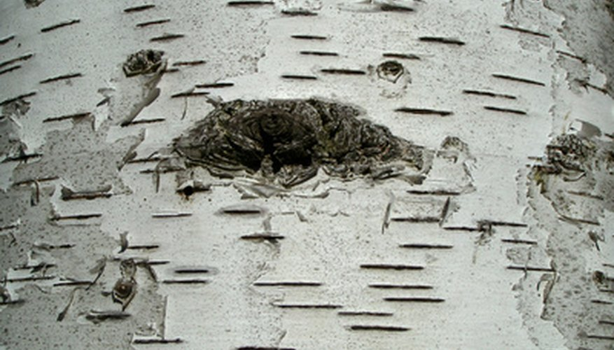 Horizontal lines on birch bark are called lenticels.