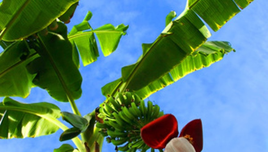 The leaves of banana plants are susceptible to wind damage.