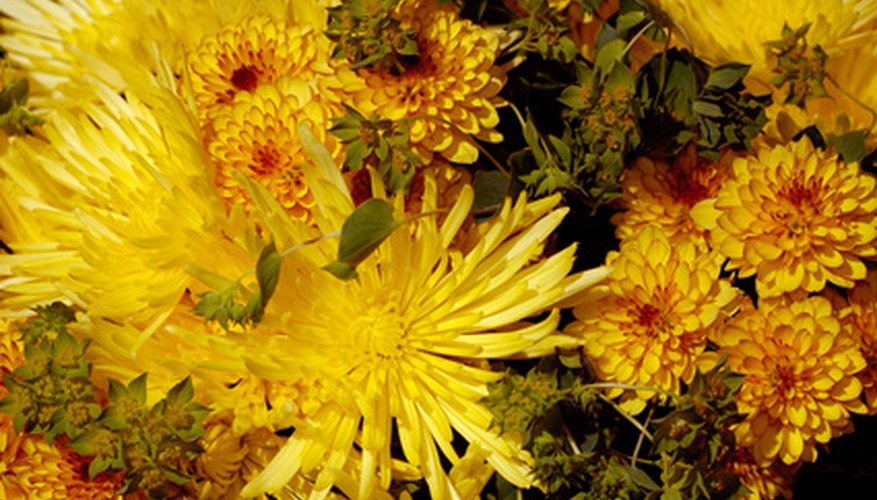 Mums come in a wide variety of flower shapes.