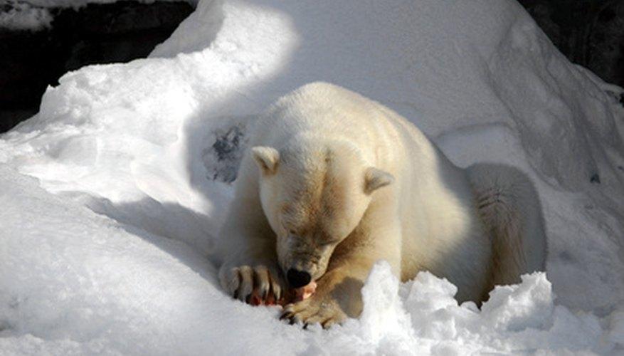 Los osos polares deben cambiar sus hábitos alimenticios como resultado del hielo que retrocede.