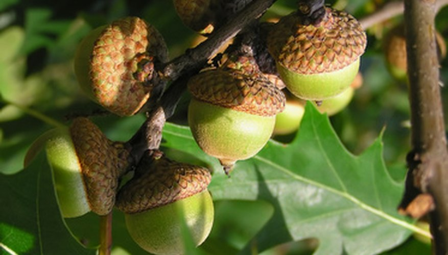Oaks provide acorns for wildlife.