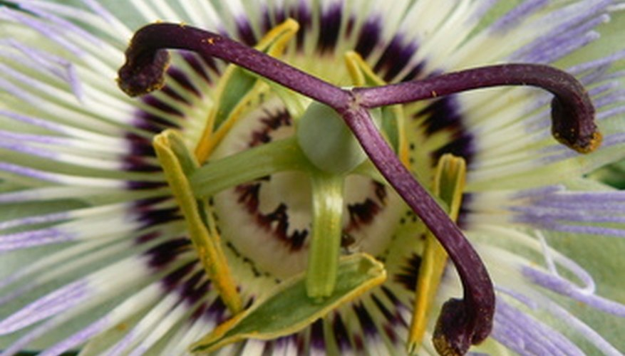 A bulbous base is evident under the purple pistils of this passion flower.