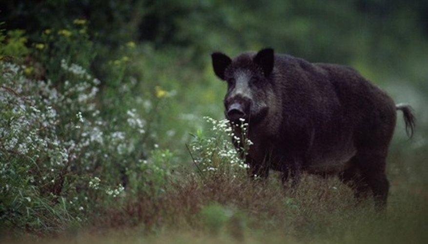 Upper Michigan Russian Boar Hunting