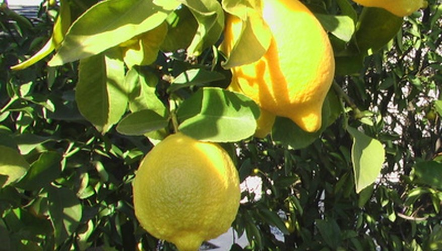 Fruit trees like lemons are extremely cold sensitive.