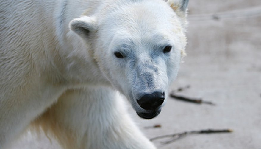 The natural habitat of polar bears is the Arctic.