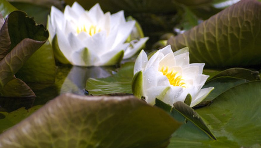 Many water lily plants produce white flowers.