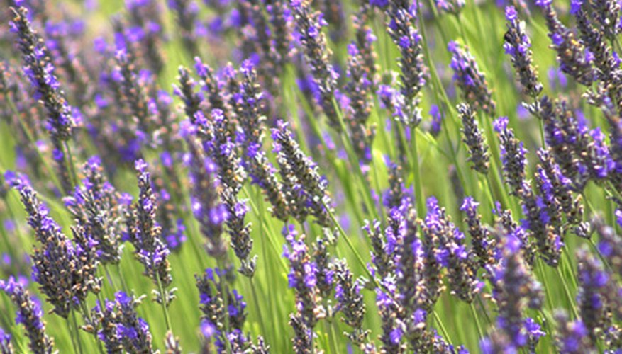 Spikes of purple flowers on lavender, which loves sun and infertile soil.