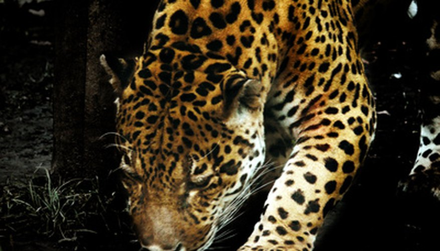 Jaguars are one of the rarest and most revered species in Honduras.