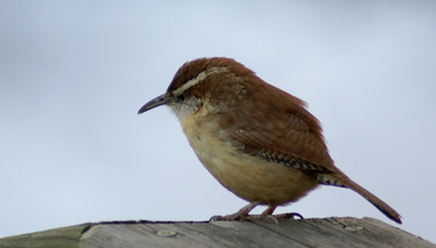 The  Carolina wren, native to West Virginia, mates for life.