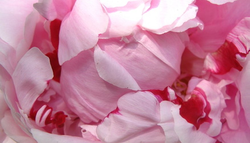 Peonies have large fragrant blooms.