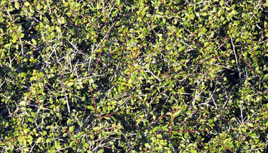 Pittosporum shrubs are popular hedge shrubs because they are low-maintenance and evergreen.