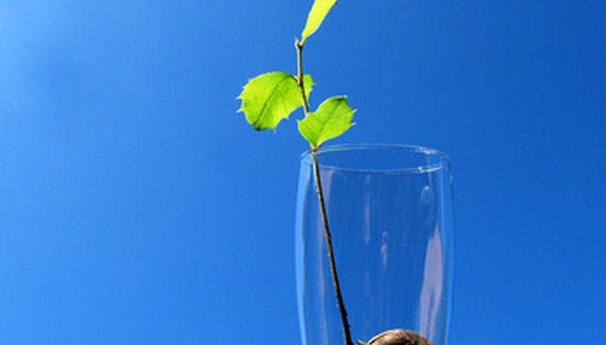 La germinación de una semilla resulta en el crecimiento de raíces hacia abajo y brotes hacia arriba.