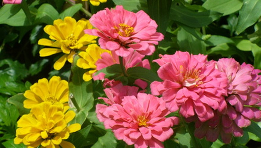Zinnia flowers bloom in a variety of bright colors.