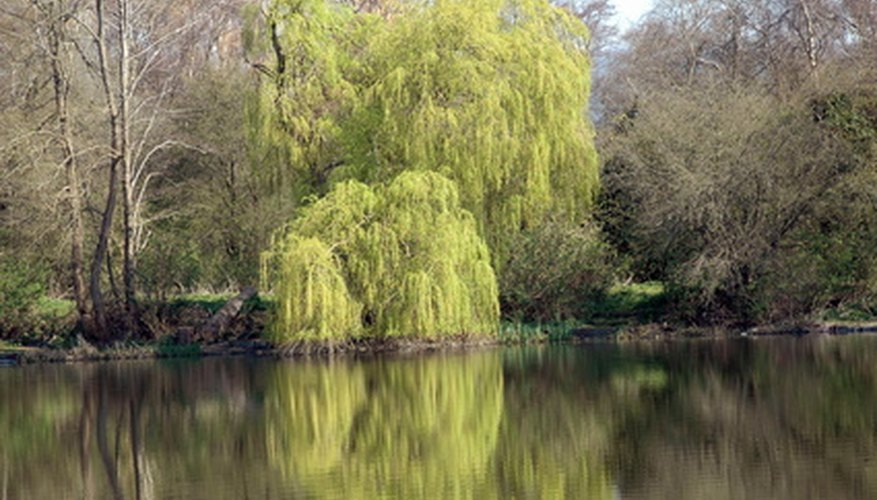 Weeping willow trees are often found growing by water.
