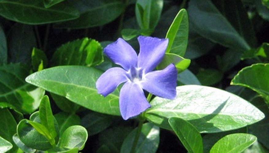 Prune vinca regularly to keep it under control