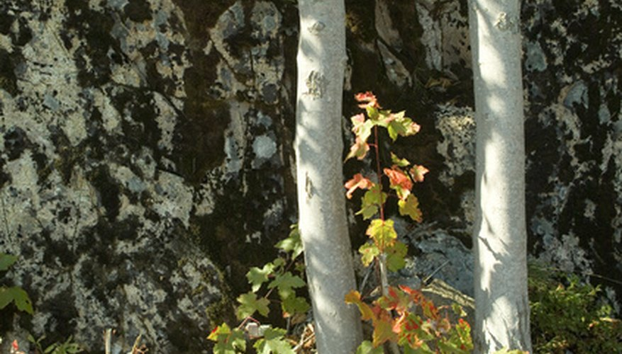 Birch trees' pale bark is one of their most distinct and beautiful features.