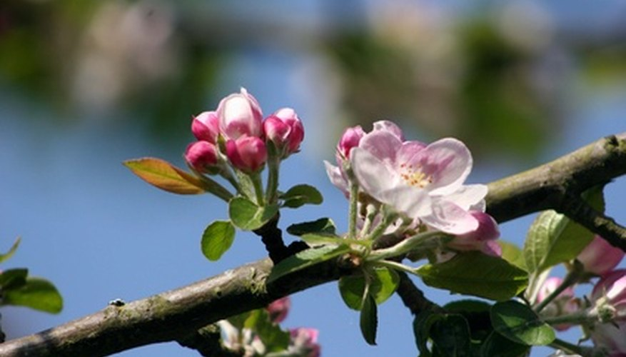 Mason bees pollinate apple blossoms, lending a hand to cross-pollination with other fruit species.