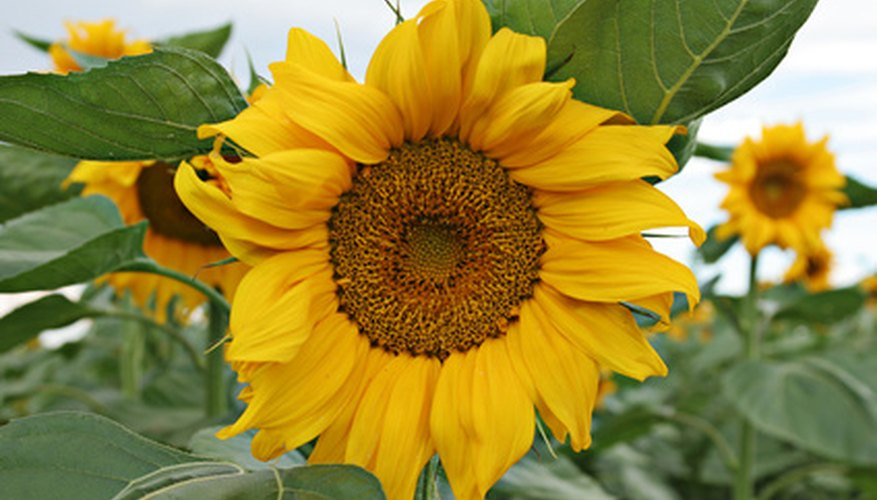 A healthy sunflower free of pests.